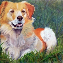 cane ritratto golden retriever alfio raciti derwent drawing wildlife