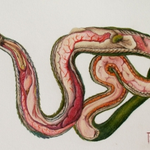 anatomia serpente alfio raciti derwent artists